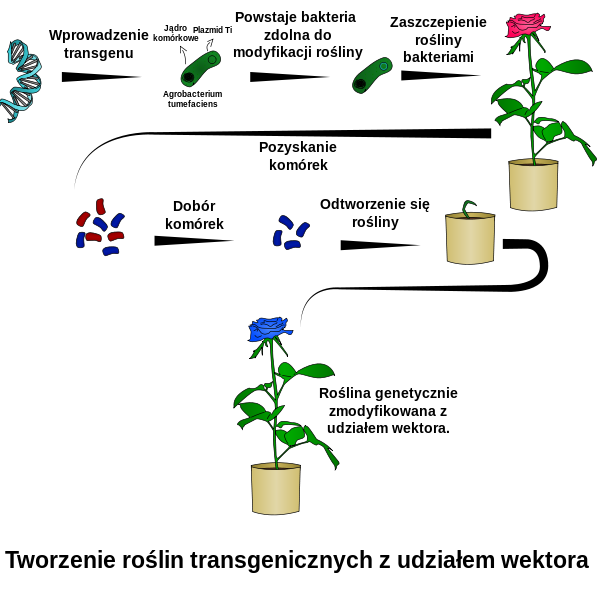 example of a genetically modified bacteria used to benefit humans